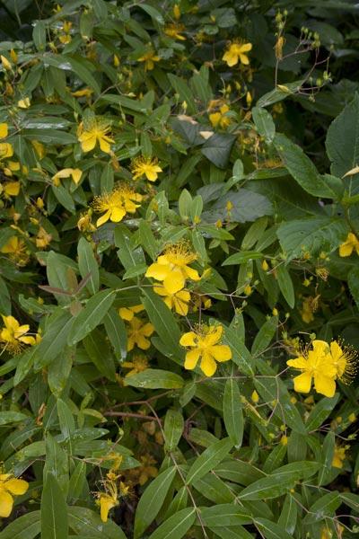 瑞泉寺の未央柳(ビヨウヤナギ)。花も紅葉も四季を通じて豊かな瑞泉寺にありました。