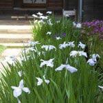海蔵寺の花菖蒲(ハナショウブ)。本堂の右手に端正に並びます。
