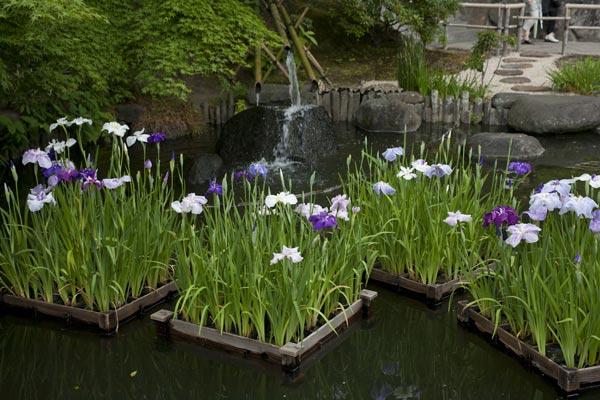 長谷寺の花菖蒲(ハナショウブ)。筏同士が連結されていて、風に流されます。あじさいと同じ頃、6月初旬〜中旬に咲きます。
