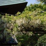 浄妙寺の白藤(シロフジ)。