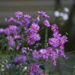 瑞泉寺の秋明菊(シュウメイギク)。秋明菊には白、ピンク、紅紫色があります。