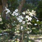 瑞泉寺の秋明菊(シュウメイギク)。山門をくぐるってすぐの平場に咲いています。