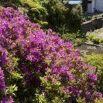 仏行寺の躑蠋(ツツジ)。静かな笛田の山にある仏行寺は斜面一帯にツツジが咲く名所です。