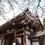 龍口寺仁王門の側には桜が咲きます。