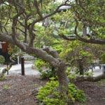 満昌寺のツツジ。源頼朝公手植えと伝わるツツジの幹。ツツジとは思えない逞しさ。