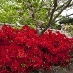 満昌寺駐車場にあるヤマツツジ。八重桜や久留米ツツジもみえています。