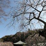 瑞泉寺の梅。まるで水墨画のような枝垂梅の幹。枝垂梅は垂れ下がる枝と花の美しさだけでなく、この幹の様がたまりません。