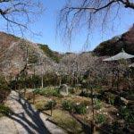 瑞泉寺の梅。参道を登って本堂周辺の梅。右にも左にもたくさんの梅があります。