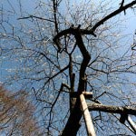 瑞泉寺の梅。枝垂梅の幹があまりに美しいのでもう一枚。