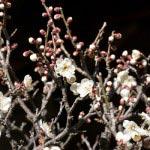 英勝寺。本堂前に咲くこの木が一番だと思います。蕾を残したくらいがまたなんともいえない美しさです。