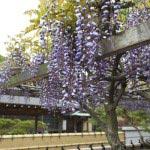 満昌寺の藤棚。