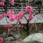 霊光寺山門の脇には鎌倉一番といってもいいヤマモモが咲きます。