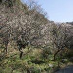 瑞泉寺の梅。受付を入ってすぐ左手、数十本の梅が咲きます。中を歩くことができます。