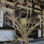 長谷寺の梅。論蔵の前にある万作(マンサク)。梅が見頃を迎えた2月下旬から咲き始めます。本番は3月に入ってから。
