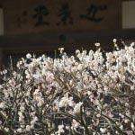報国寺の梅。本堂へと至る参道の中程にあります。高い位置に弧を描く梅が見事です。