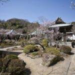 化粧坂を抜けたら海蔵寺へ。海蔵寺は大きな枝垂梅、梵鐘前の古木が見所。境内の設計がよくここちよい空間になっています。