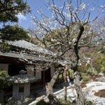 浄妙寺 喜泉庵の梅。喜泉庵の庭園に梅が植えられており、それをみながらお茶を飲むことができます。