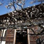 円覚寺、選佛場前の梅。青空に逞しく咲く感じです。