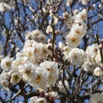 海蔵寺を出たら道なりに英勝寺へ。英勝寺門前の木が英勝寺の梅の中では早く咲くので、この梅の咲き加減を見れば境内の梅の具合がわかります。