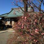 本瑞寺境内。「桜の御所」跡ですが、現在は梅が多く植えられています。温暖な気候を繁栄して1月中旬にもかかわらずもう梅が咲いていました。桜はとなりの光念寺の本堂前に大きなものが2本あります。