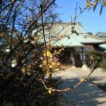 本瑞寺の黄梅。1月中旬今年初めての梅の香りに、身体の中に春が入ったかのような気分です。
