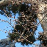 長谷寺の梅。本堂の平場にある寒緋桜。梅が見頃を迎えるこの時期、蕾が膨らみ始めています。