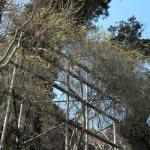 長谷寺の梅。本堂へと至る階段の途中には珍しい黄梅があります。