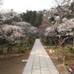 東慶寺の梅。門前から本堂にかけて素晴らしい梅並木。説明不要の美しさです。