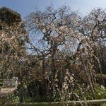 宝戒寺の枝垂梅。鎌倉有数の名木です。