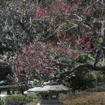 長谷寺の梅。周囲と合わせるように剪定されています。