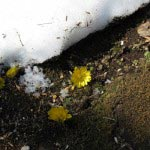 長谷寺の梅。春を告げる福寿草も梅と一緒に楽しめます。