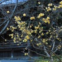2014年2月5日の妙本寺。この木は、素人蝋梅(ソシンロウバイ)という梅の一種。12月下旬から下向きに黄色の美しい花が咲きます。
