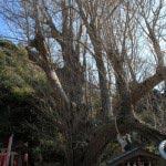 海南神社、源頼朝寄進の他にもう一本の大銀杏。龍神社の上にかかるあたりの幹が龍に見えるといわれています。