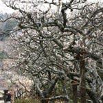 東慶寺の梅並木は一見の価値ありです。向かいの山もあまり宅地化されておらず、目に入る景色全体がよいのです。
