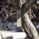 荏柄天神社の寒紅梅。鎌倉一早咲きと銘打たれているとおり、1月中旬〜下旬には咲きます。拝殿の朱色との組み合わせが妙。
