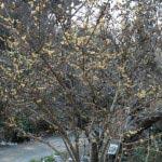 光則寺の梅。樹齢200年~300年という古木の傍らに咲く、素心蝋梅(ソシンロウバイ)は12月下旬から黄色い花を咲かせます。