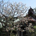 鶴岡八幡宮の梅。三ノ鳥居をくぐって参道を行くと、流鏑馬馬場が横切るあたりにあります。鶴岡八幡宮の梅はここに2本、鎌倉国宝館前に小振りな木が1本、神苑牡丹園受付前に1本あります。