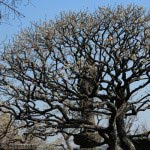 長谷寺の梅。大黒堂前の白梅は枝振りが独特です。