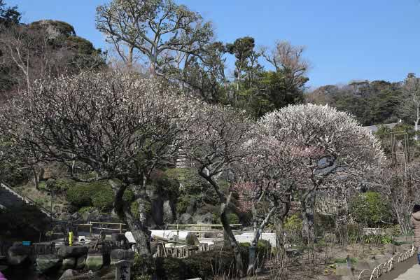 長谷寺の梅。受付を入ってすぐの平場がいきなりハイライトです。