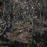 長谷寺の梅。おそらく境内に一本だけと思われる枝垂梅。これも池の側にあります。