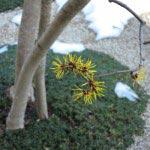 長谷寺の梅。論蔵の前にある万作(マンサク)は、日本原産らしい慎ましい花です。