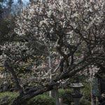 長谷寺の梅。受付を入ってすぐの平場、中央の階段へと向かうところにあります。