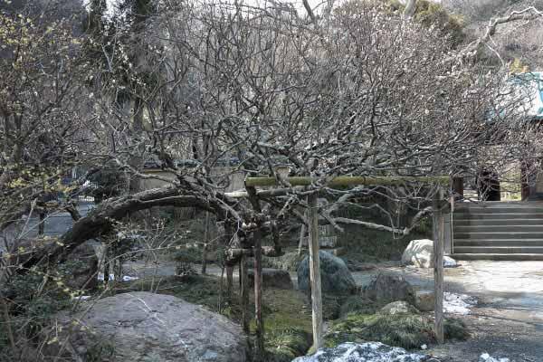 光則寺の梅。この木は樹齢200年~300年という古木。