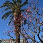 〈頼朝〉源頼朝の愛した三崎めぐり。桜の御所跡である本瑞寺。三崎らしい風情の梅。