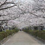 〈王道〉金沢街道をゆく。源頼朝が造った一段高い路、段葛。鎌倉中心部の開発が進んだことにより道に水が流れ込んだため、石を積んで造ったといわれています。造成にあたっては、北条時政始め有力な御家人たちも自ら石を運んだといわれています。