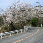 鎌倉山の桜。鎌倉駅からバスや車を使うとこの道を上がります。少しいくと左手にらい亭が見えてきます。