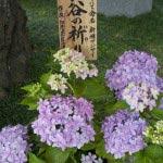 長谷寺には長谷寺において命名された新種のあじさいもみることができます。これは「長谷の祈り」と名付けられた美しい一種。