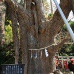 〈頼朝〉源頼朝の愛した三崎めぐり。海南神社。源頼朝寄進による大銀杏の幹。樹齢八百年、幹周4.6mという逞しさ。本能が満たされる感覚を得ます。