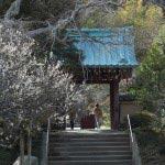 光則寺の梅。光則寺の門に樹齢200〜300年の古木がのびます。