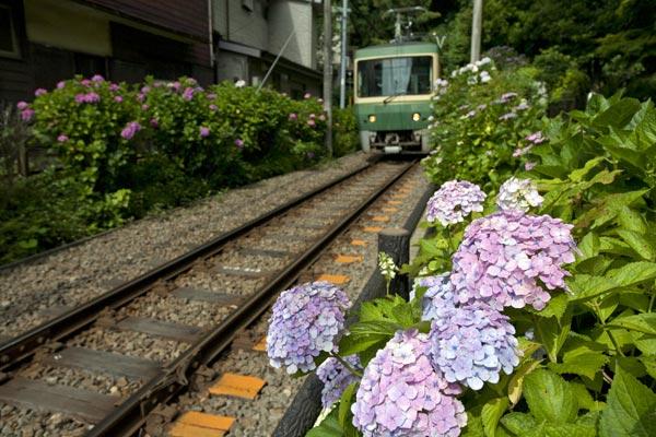 鎌倉の七福神めぐり。御霊神社はあじさいの名所として知られています。あじさいと江ノ電の組み合わせは様々なメディアを飾ります。